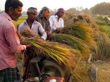 Low price for Aman rice leaves farmers dissatisfied