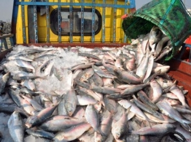 Another 172 tons 490 kilograms of Hilsa exported to India