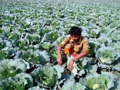 Cauliflower from Jessore now exported to Malaysia, Singapore