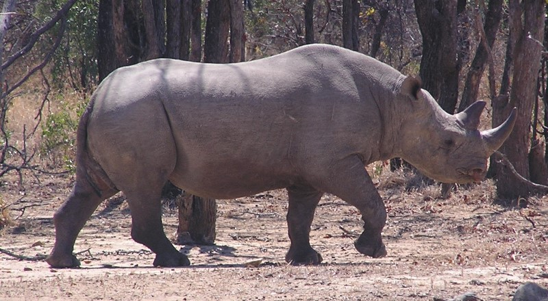 Saving Rhinos: A Second Chance For Dozer